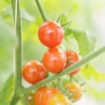 家庭のベランダが菜園になる!? ミニトマトを作ろう!